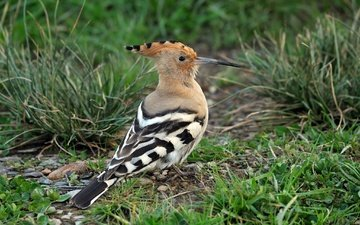 grass, animals, birds, beak, feathers, hoopoe