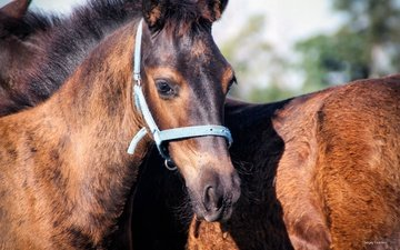 глаза, лошадь, мордочка, кони, грива, крупный план, уздечка, sergey yashikov