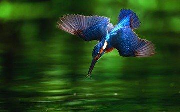 вода, крылья, птица, клюв, перья, зимородок