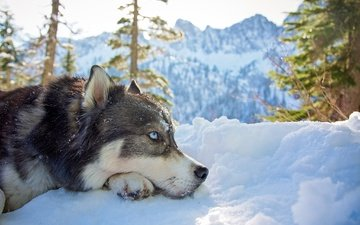 face, trees, snow, nature, winter, look, dog, profile, ate, husky