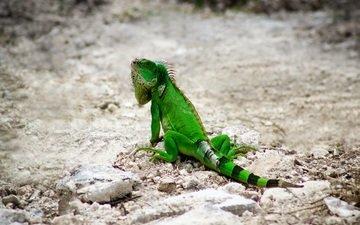 природа, ящерица, рептилия, игуана