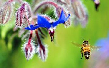 цветы, насекомое, крылья, пчела