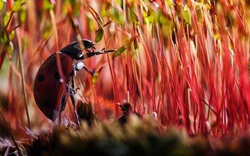 растения, жук, макро, насекомое, божья коровка, мох