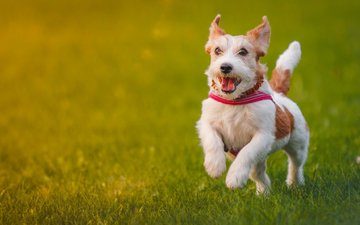 grass, dog, walk, jack russell terrier
