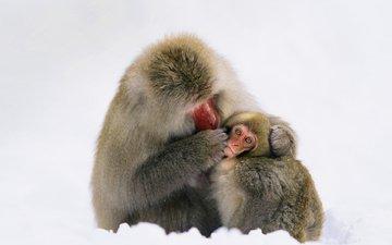 семья, макаки, обезьяны, японский макак
