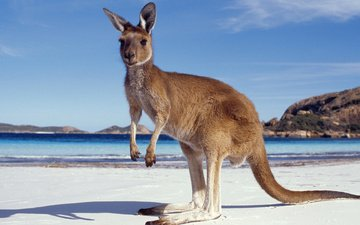 песок, пляж, кенгуру