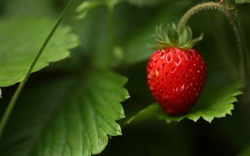 grass, nature, forest, macro, summer, berry, strawberries