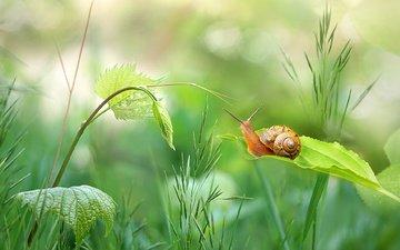 трава, природа, зелень, растения, листья, стебель, улитка, боке