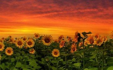 природа, закат, подсолнух, подсолнухи, желтые цветы