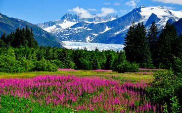 flowers, grass, trees, mountains, rocks, greens, the bushes, usa, valley, glacier, alaska, sunny, lupin