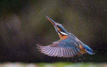 полет, крылья, птица, клюв, перья, зимородок