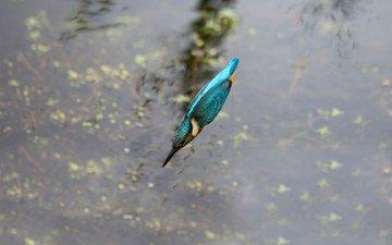 вода, полет, птица, клюв, перья, зимородок
