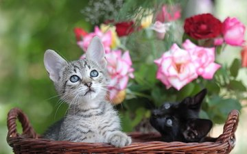 flowers, muzzle, roses, look, basket, cats, kittens