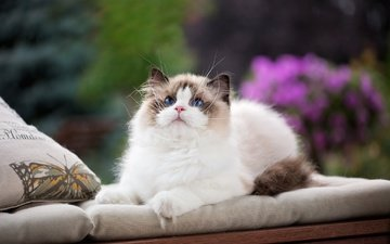 pillow, cat, look, face, blue eyes, fluffy, ragdoll