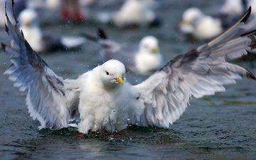 вода, крылья, брызги, чайка, птица, клюв, перья