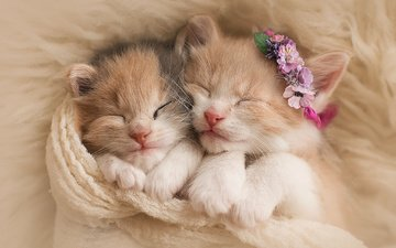 flowers, sleep, pair, cats, kittens, wreath, fur, scarf