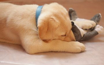 muzzle, sleep, dog, toy, puppy, labrador, retriever