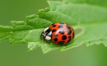 beetle, macro, insect, sheet, ladybug