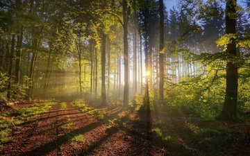 trees, nature, forest, morning, fog, the sun's rays