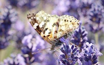 цветы, насекомое, лаванда, бабочка, крылья