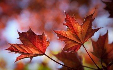 природа, листья, листва, осень, клен, кленовый лист, крупным планом