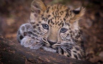 muzzle, look, leopard, predator, wild cat, cub