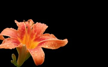 flower, drops, petals, lily, black background, daylilies