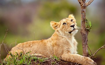 grass, branch, muzzle, look, lies, leo, lion, cub