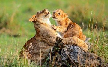 львы, дикая природа, львица, львёнок, детеныш