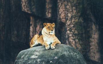 хищник, камень, лев, львица