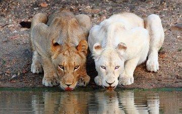 морда, хищник, львы, водопой, дикая кошка, львицы