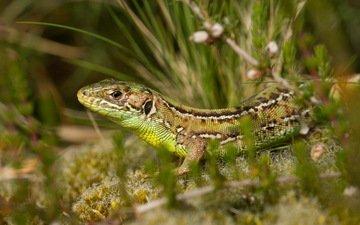 природа, растения, фон, ящерица, рептилия