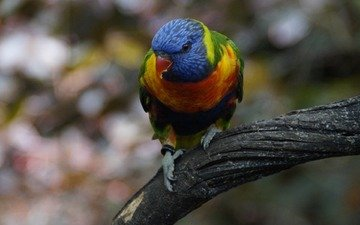 птица, клюв, перья, попугай, многоцветный, лорикет, радужный