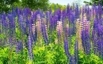 flowers, plants, glade, lupins