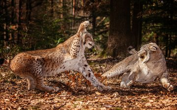forest, leaves, predator, wild cat, fight, snow leopards, aggression