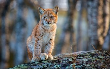face, lynx, look, predator, wild cat