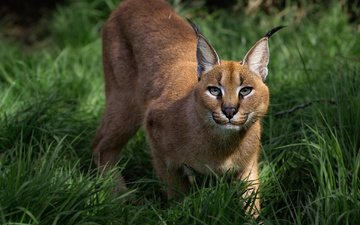 grass, plants, look, predator, wild cat, caracal, steppe lynx