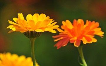 цветы, лепестки, стебли, календула