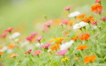 цветы, лепестки, стебли, циния, цинии
