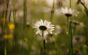 цветы, лепестки, размытость, ромашки, белые, стебли