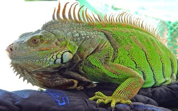 животные, ящерица, рептилия, игуана