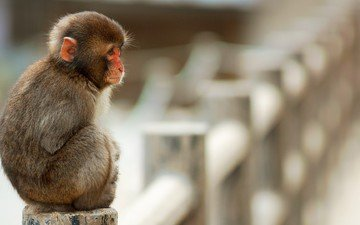 animals, sitting, monkey, cold, the primacy of