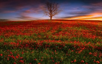flowers, the evening, nature, tree, sunset, field, red, maki