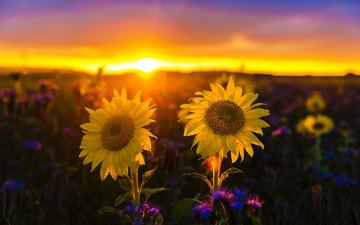 nature, sunset, landscape, field, sunflowers