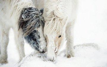 лошадь, снег, природа, кони