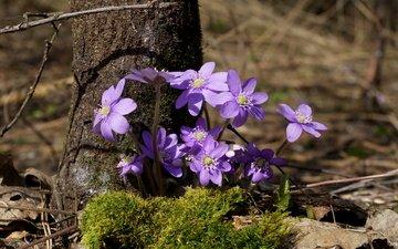 цветы, дерево, весна, мох, ствол, первоцветы, солнечный свет, ветреница, печёночница