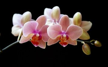 flowers, petals, black background, orchid