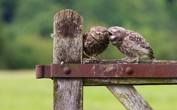 chick, nature, the fence, birds, owls, owl