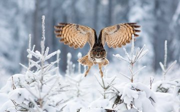 owl, snow, forest, winter, flight, wings, bird, ate