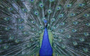 птица, клюв, павлин, перья, животное, хвост, зоопарк, оперение